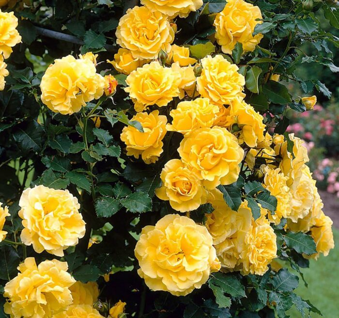 Сорт розы Голден Парфюм