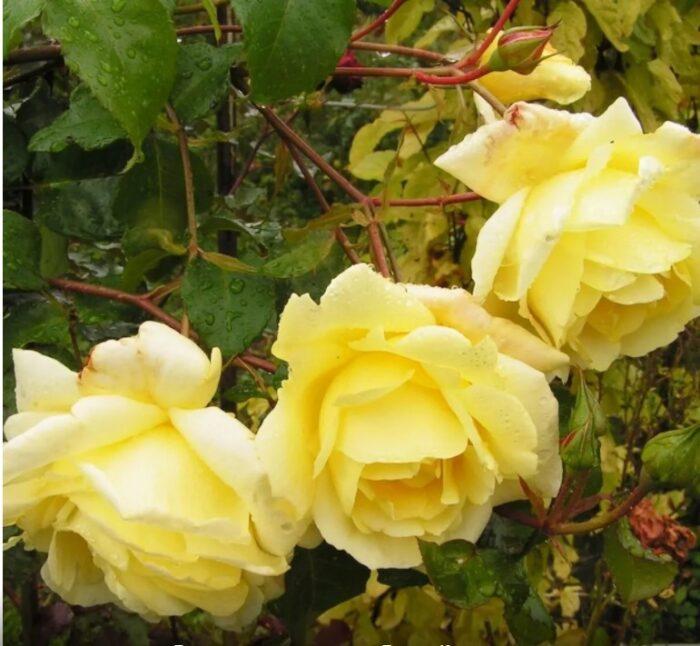Вьющаяся желтая роза
