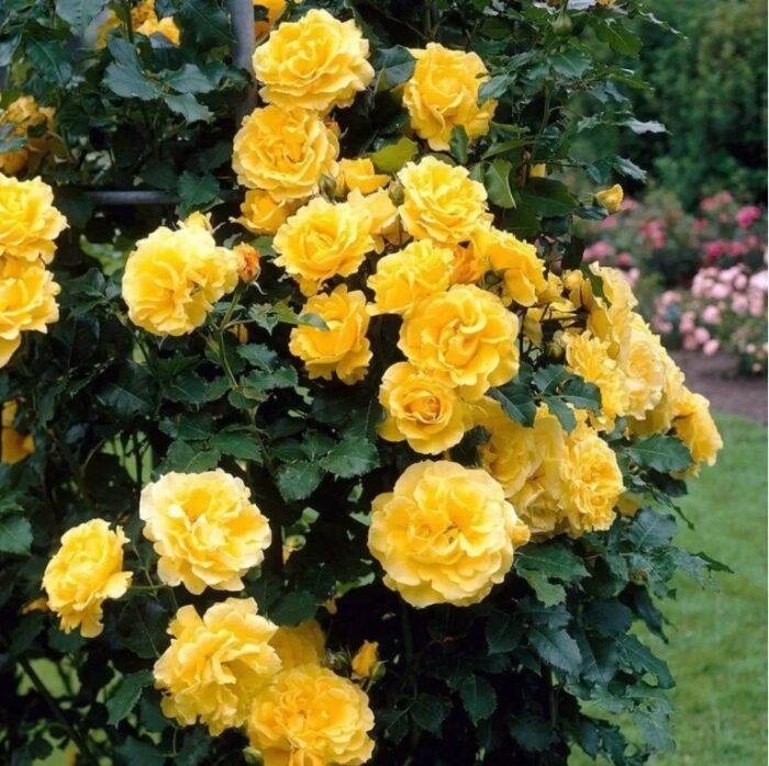 Желтые розы на опоре