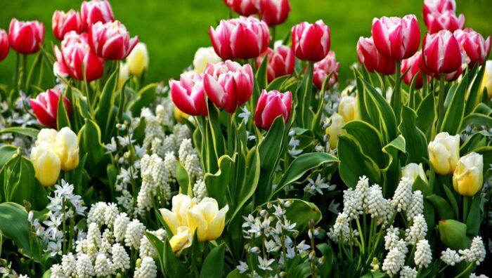 Садовые тюльпаны