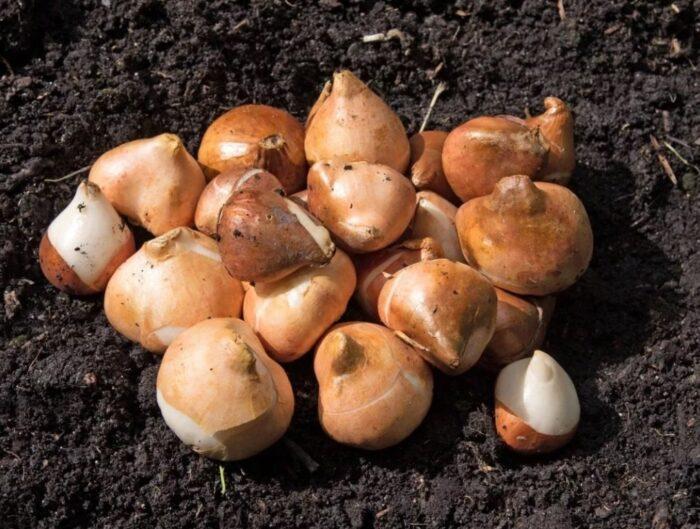 Луковицы весной