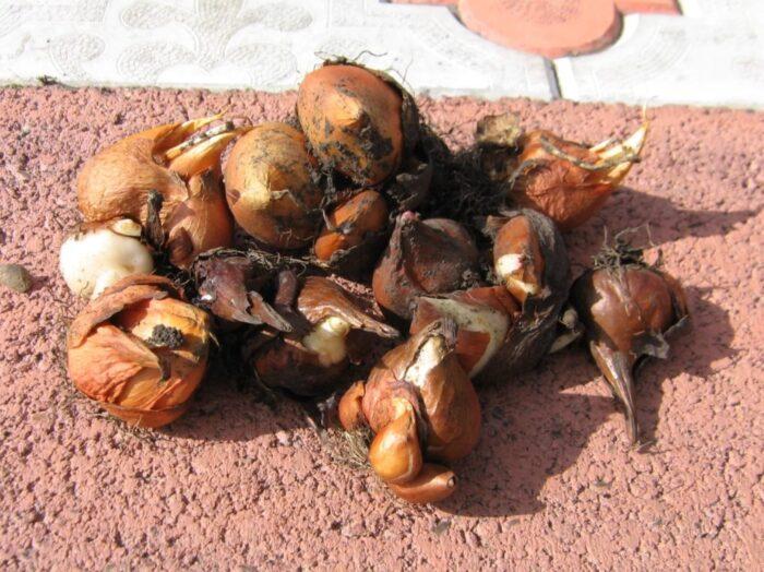 Луковицы тюльпанов после выкапывания