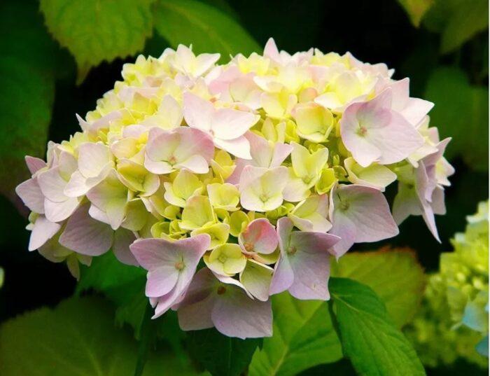 Гортензия в цвету