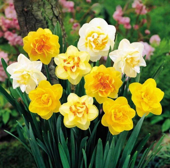 Нарциссы в цвету