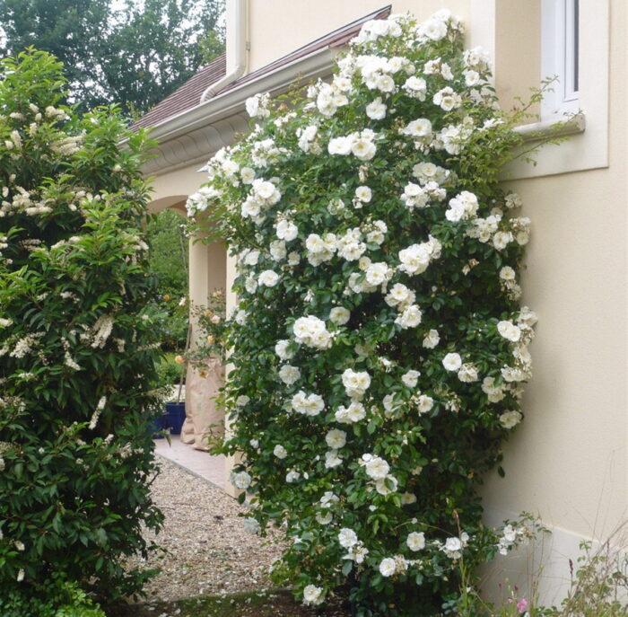 Сорт розы плетистой Шнеевальцер