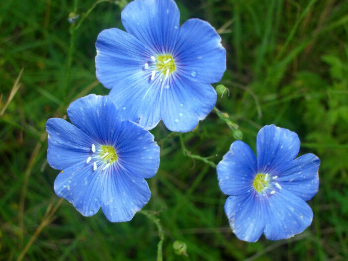Цветки многолетнего льна