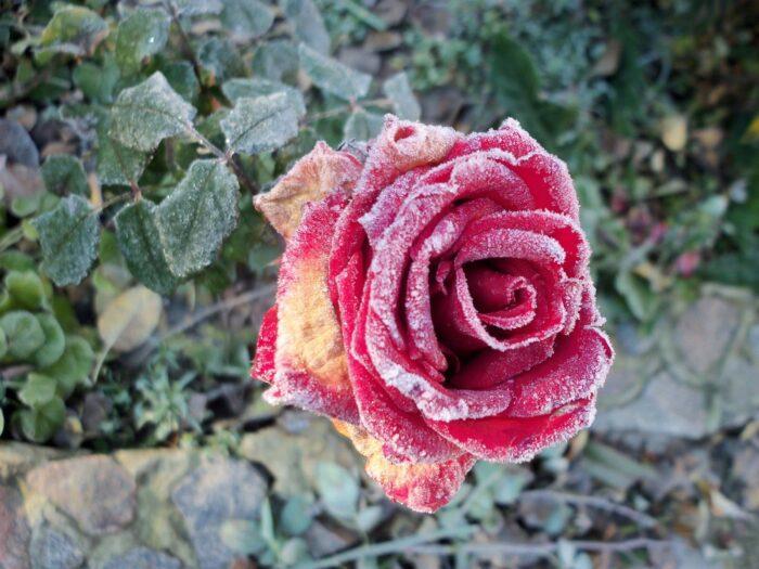 Пораженная роза