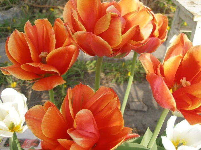 Отцветающие тюльпаны